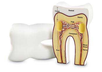 Cross-Section Tooth Model