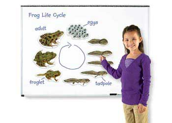 Giant Magnetic Frog Life Cycle – 9 Pieces