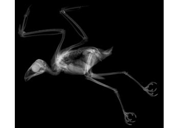 Animal X-Rays – 14 X-Ray Images & Matching Cards